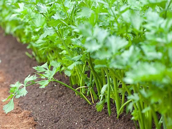 Řapíky celeru přihrnujeme zeminou, aby zbělely