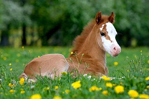 Velšský pony