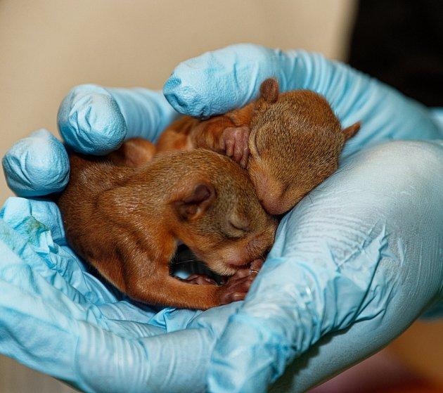 Mláďata veverky obecné po vypadnutí z hnízda potřebují speciální péči.