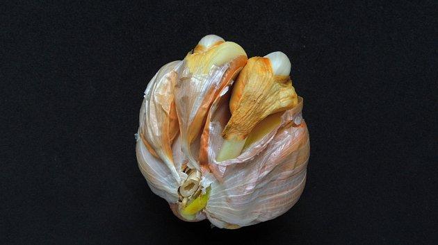 česnek napadený vlnovníkem