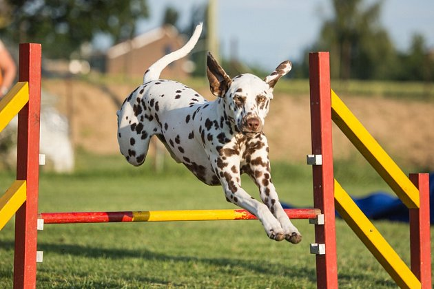 Do agility se mohou pustit pejsci staří rok a více.