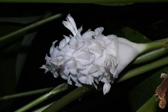 Calathea burle marxii Ice blue