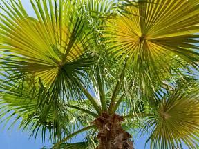 otužilá palma Chamaerops humilis