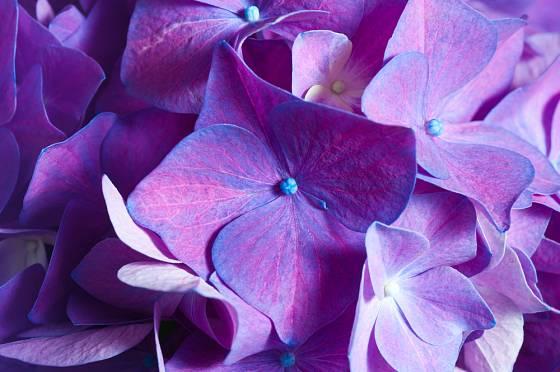 Květy hortenzií mění barvu z modré na fialovou a růžovou