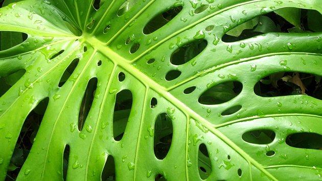 Filodendron patří k rostlinám, které pomáhají čistit vzduch.