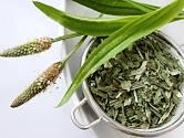 Jitrocel kopinatý patří k oblíbeným léčivým bylinám.