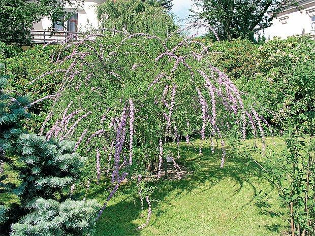 Keř můžeme dobře pěstovat v nížinách i na pahorkatinách