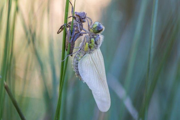 proměna larvy v dospělou vážku