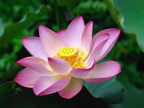 Lotos posvátný zvaný také nilská růže