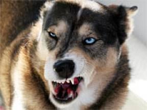 Rozzlobený pes