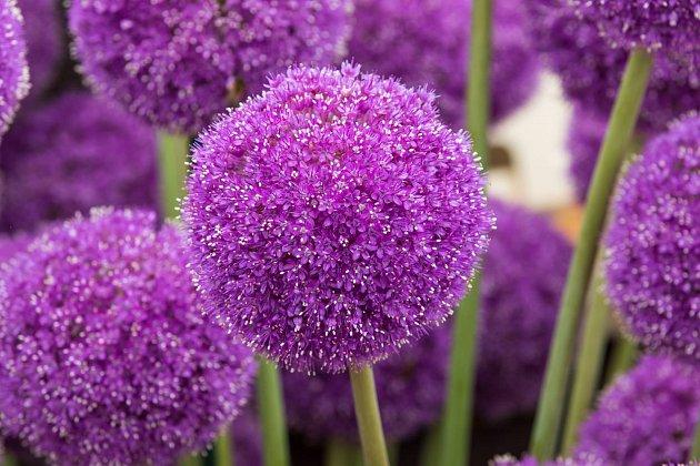 Allium giganteum čili okrasný česnek má nádherné obrovské palice květů.