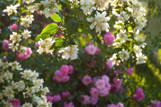 Pustoryl a časně kvetoucí růže se mohou v květu i potkat