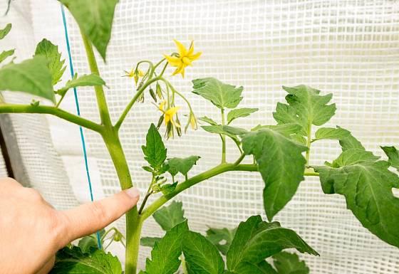 Nové zálistky se u rajčat objevují velmi rychle.