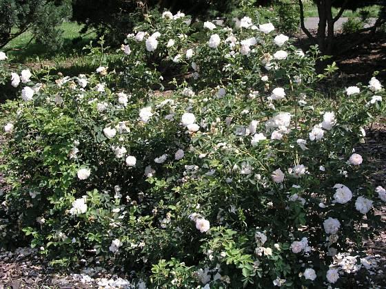 Rosa x alba Suaveolens