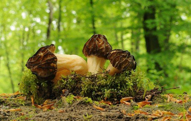 Jarní houby patří k těm málo známým