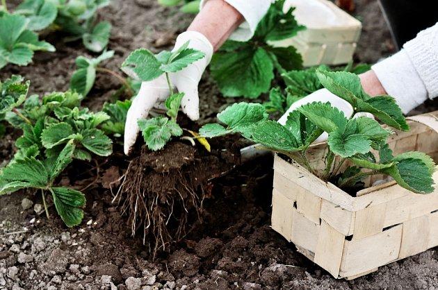 výsadba jahodníku