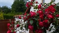 Pnoucí růže Florentina