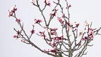 I broskvoň lze rychlit, u nás je však vzácnější nežli třešně