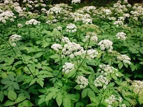Bršlice kozí noha (Aegopodium podagraria) v květu