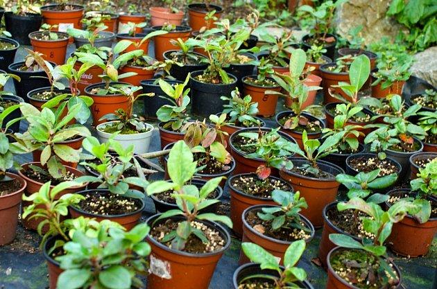 Takhle vypadají 2 roky staré sazenice rododendronů.