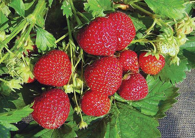 odrůda jahod - andrea
