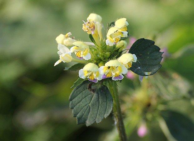 konopice (Galeopsis)