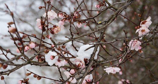 Meruňky v květu překvapil pozdní sníh .