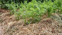 Zamulčovaná mrkev vydrží na záhoně i přes zimu
