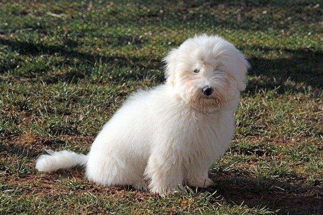 Mnohá psí plemena se stala v důsledku šlechtění pomalá a neohrabaná, patří k nim i Coton de Tuleár.