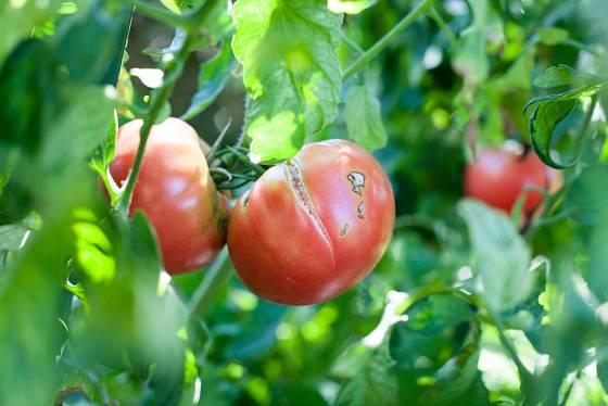Střídání sucha a vláhy vede k praskání rajčat