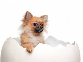 Vaječné skořápky mohou vašemu psovi zlepšit  zuby, kosti i srst