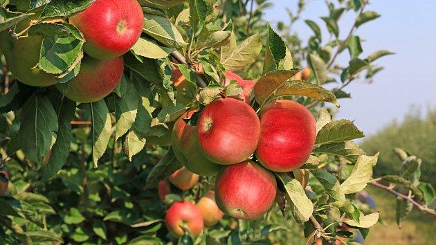 Správně provedený letní řez ve výsledku výborně ovlivní kvalitu plozeného ovoce.