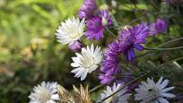 Pro všechny, kdo rádi suší rostliny pro aranžování, je suchokvět ideální.