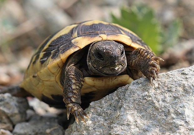 Suchozemnské želvy rády lezou i šplhají
