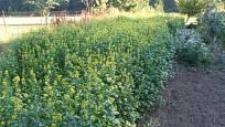 Vzrostlé zelené hnojení - řepka.
