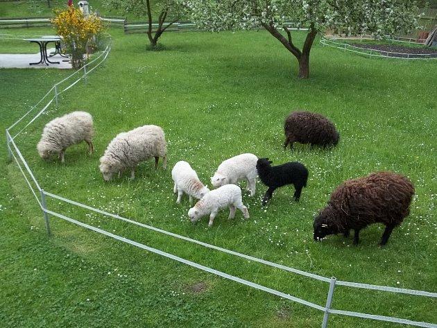 quessantské ovce na pastvě