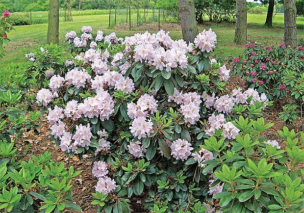 Oblíbené azalky a rododendrony potřebují kyselý substrát s vysokým podílem rašeliny