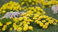 hlaváček jarní (Adonis vernalis)