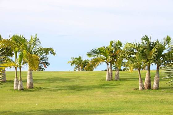 lahvová palma Hyophorbe lagenicaulis