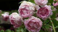 Jasmina (Kordes, Německo, 1996). Světle fialový květ je asi 7 cm velký a spíše dolů převislý; výška růže 2,5 m. Opakovaně kvetoucí