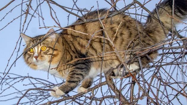 Domácí kočky uloví údajně desetkrát víc zvířat než kočky divoké.