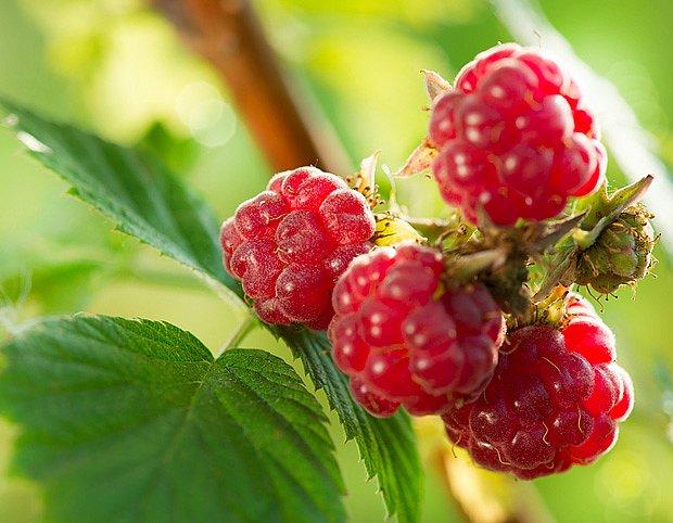 Pro psí zdraví jsou přínosné plody i listy maliníku
