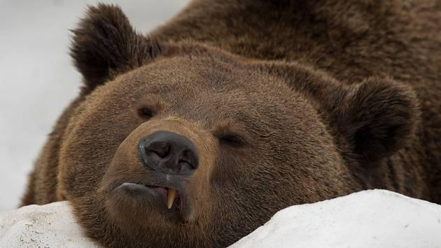 Medvěd hnědý, vyhlášený zimní spáč.