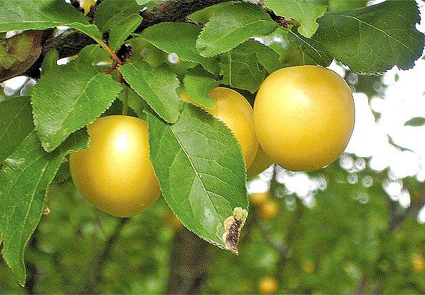 Plody mirabelek mohou být žluté, červené i fialové