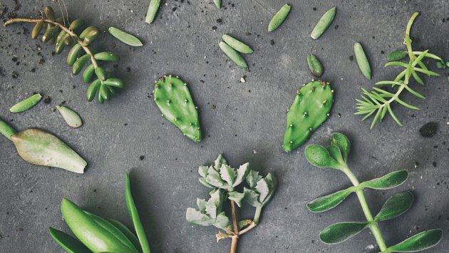 Kaktusy a sukulenty snadno namnožíme z listů nebo řízků.