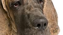 Otevřené oči s příliš hluboko visícími víčky jsou považovány za vadu.