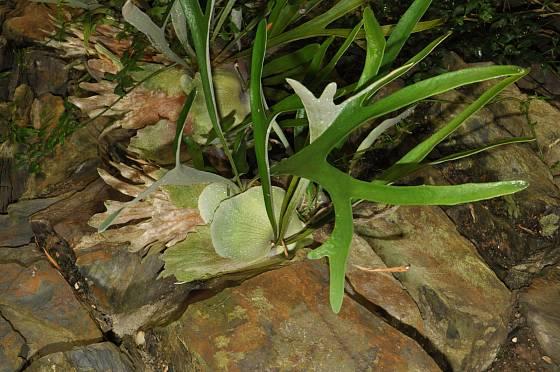 parožnatka, Platycerium veitchii