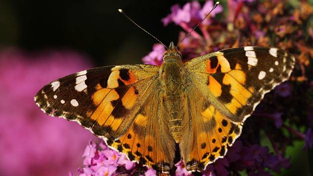 Komule Davidova neboli motýlí keř.