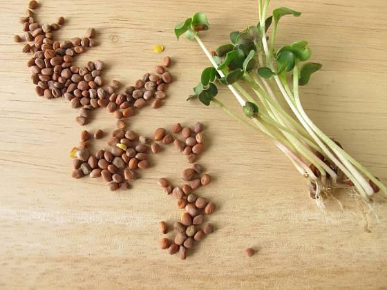 Semena ředkviček a mladé výhonky.