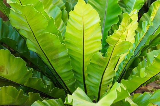 Pokud je sleziník hnízdovitý zdravý, vyniká svěží barvou listů